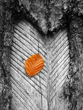 russet: forest series: one russet leaf on trunk Stock Photo