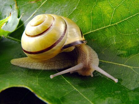 image from nature series: snail on leaf photo