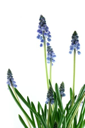 image from holiday series: grape hyacinths photo