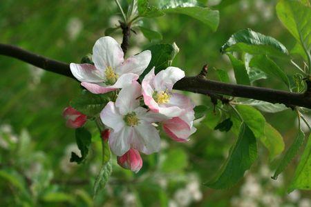 image from flower series: apple blossom Standard-Bild