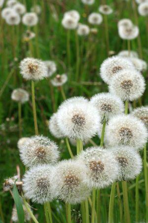 image from seasonal series: dandelions