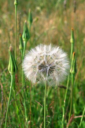 image from seasonal series: big dandelion photo