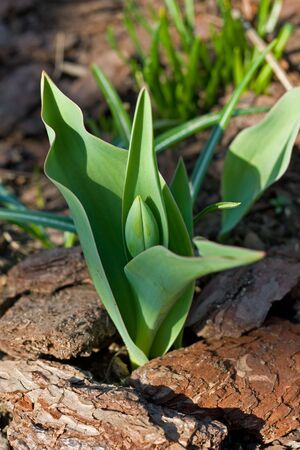undeveloped: image from nature series: undeveloped tulip Stock Photo