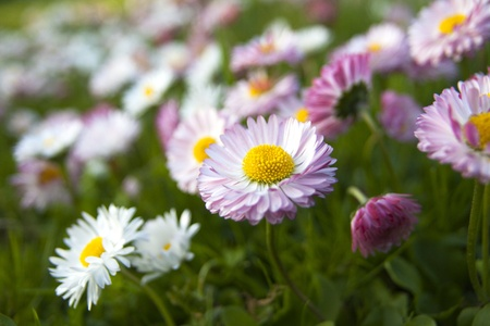 daisie: nature series: meadow of daisies