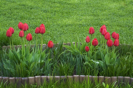 Spring series  Spring tulips flowers in green garden photo