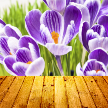 Spring background with crocuses and wooden parquet photo