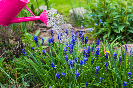 watering the plants: Spring works in the garden: watering plants watering can