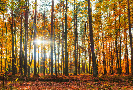 orenge: Autumn in the forest: trees in colorful leaves Stock Photo