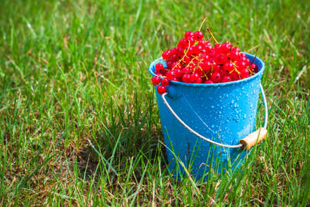 red currant: Red currant fruit in a bucket on the grass Stock Photo
