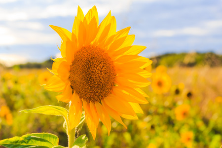 Field of sunflowers in summer: closeup of beautiful yellow flower in the sun
