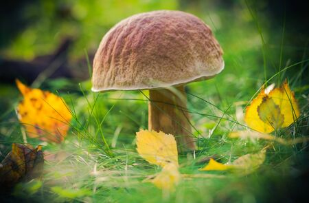 sheathing: Mushroom in the forest on the grass in the sun