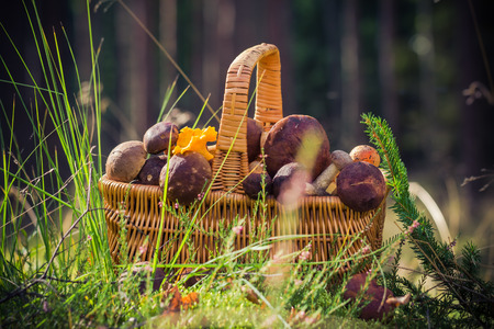sheathing: A basket full of edible mushrooms in the forest