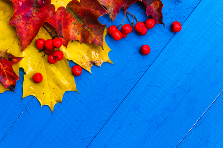 Fall background with colour leaves and rowan fruit on blue boards