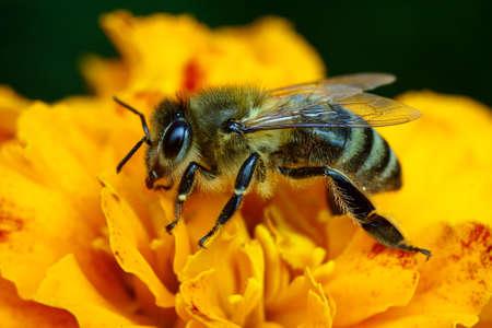 macroshot: Macro-shot of bee collecting pollen on a flower