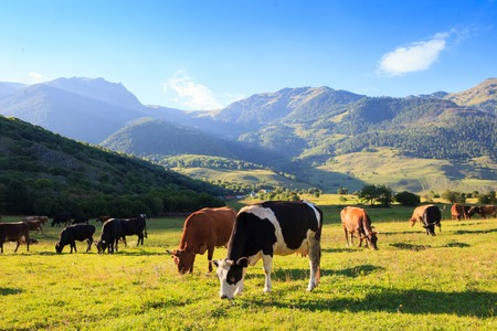 beautiful cow: Herd of cows in a mountain meadow, clear autumn day in the mountains