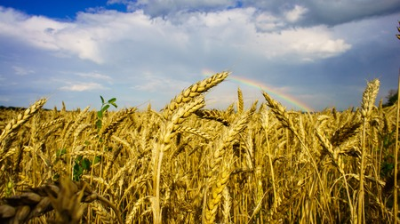 Rainbow with clouds over field of golden wheat photo