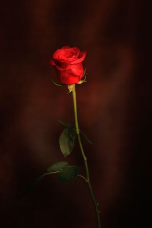 A rose with some lighting in the background Stock Photo - 3451488
