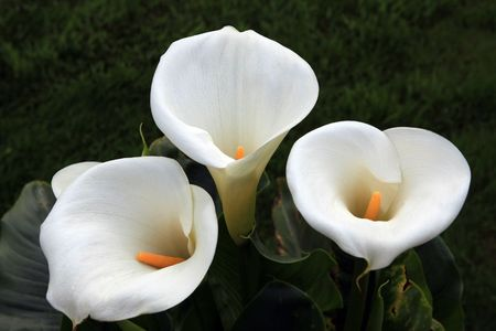 A close up on a callas flower in full bloom Stock Photo