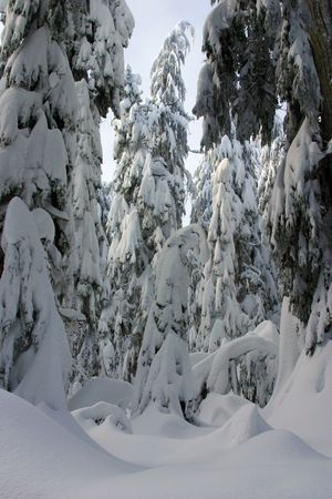 blanked: Trees covered with blanked of fresh snow
