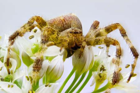 crabspider: spider on a flower, brown spider white flower, a small spider sitting on the flowers in the park, close-up photo of spider sitting on flower