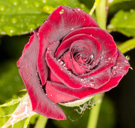 burgeoning: macro red rose flower on a background