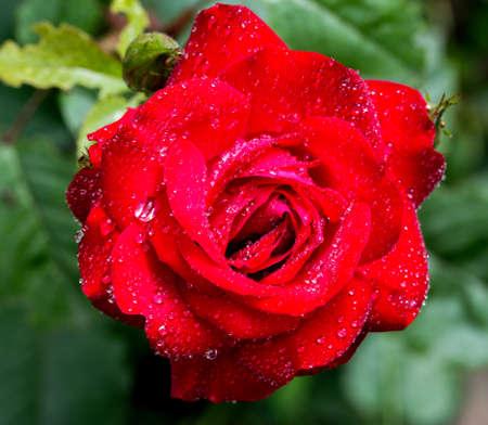 red rose macro photo photo