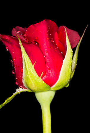 macro flower red rose on a black background photo