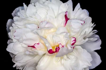 subtropics: bianco fiore di peonia fotografato su uno sfondo nero Archivio Fotografico