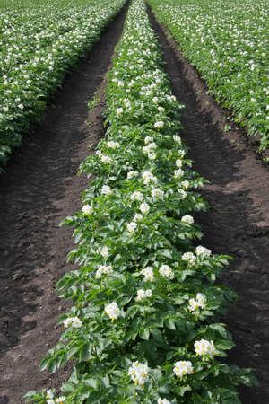 ein Feld mit blühenden Kartoffelpflanzen in der Sommersonne auf einem gewerblich genutzten Hektar fotografiert