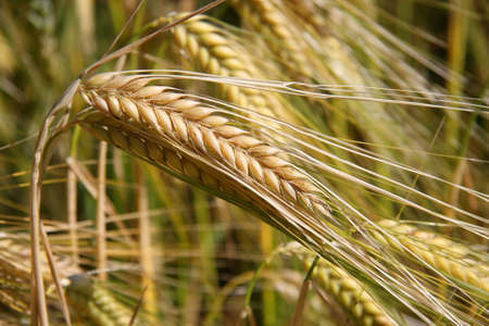 commercially: a spike of ripe wheat photographed in the autumn sun on a commercially used acre Stock Photo