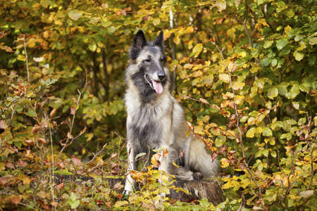 herder: A portrait of an elderly belgian shepherd photographed in an autumnal forrest