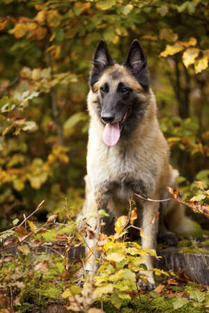 broad leaved tree: A portrait of a belgian shepherd photographed in an autumnal forrest Stock Photo