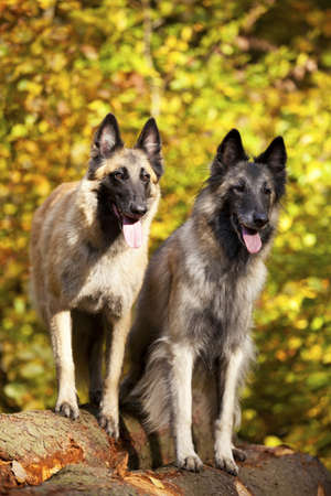 A portrait of two belgian shepherds photographed in an autumnal forrest photo