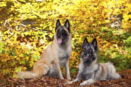 A portrait of two belgian shepherds photographed in an autumnal forrest