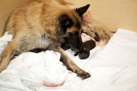 A female belgian shepherd taking care of one of her newborn puppies Stock Photo