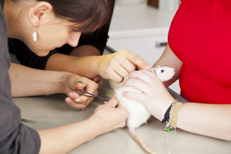 A domestic rat getting a surgery at a veterinarian photo