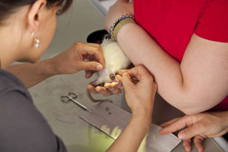 A domestic rat getting sutured after a surgery on the leg at a veterinarian photo