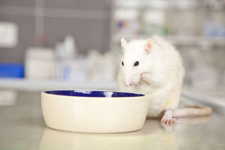 A domestic rat sitting on an operating table at a veterinarian and eating something photo