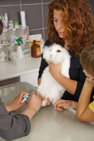 operating table: A white domestic rabbit getting its claws cut at a veterinarian