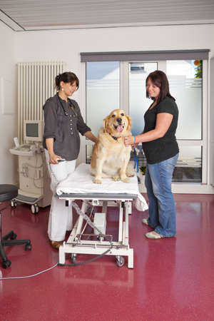 A veterinarian preparing the examination table with a golden retriever for ultrasonic examination