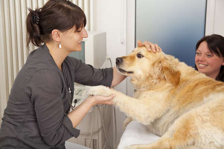 A veterinarian fondling a golden retriever to becalm him for an ultrasonic examination Stock fotó