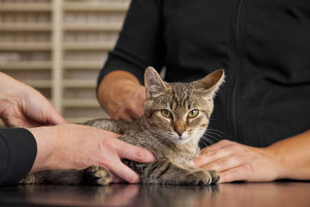 A domestic cat being examined at a veterinarian