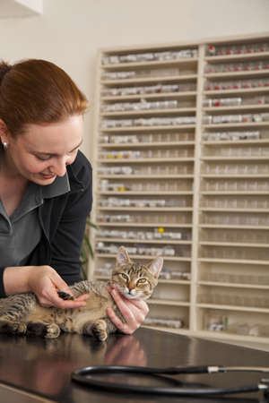 A domestic cat being examined at its pad by a veterinarian photo