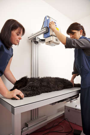 A veterinarian preparing a dog for a x-ray examination