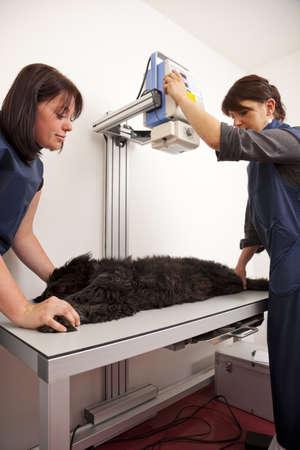 Ein Tierarzt der Vorbereitung eines Hundes für eine Röntgenuntersuchung Lizenzfreie Bilder