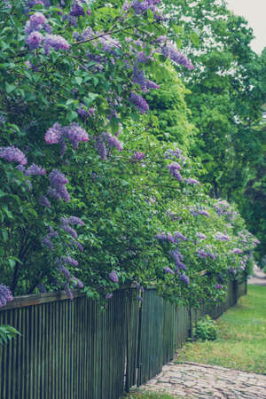 The lilacs near the wooden fence. Retro hipster vintage toned.