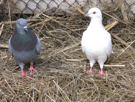 Two cooing pigeons, black and white. photo