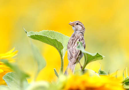 Close up portrait of young sparrow on sunflower. Stock Photo