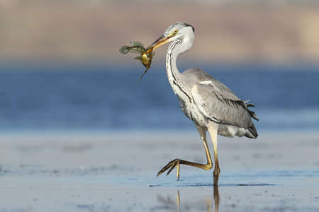 Unusual extra close up portrait of grey heron with a fish in beak. 写真素材