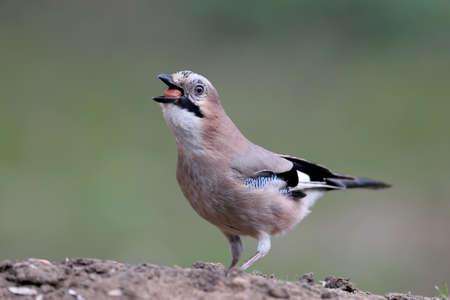 Eurasian jay with a hazelnut in a beak Stock Photo